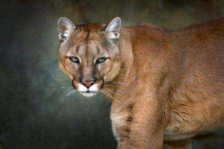 Mountain lion , cougar, puma portrait in motion on dark background Zdjęcie Seryjne