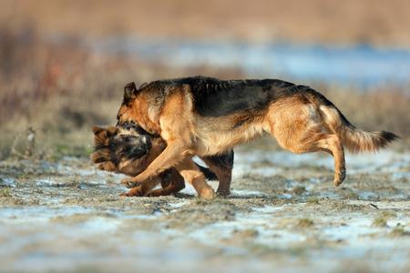 두 독일 셰퍼드 강아지는 겨울 날 야외 연주