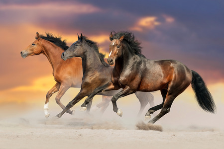 Three bay horse run gallop in desert dust Фото со стока