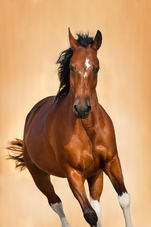 Bay horse portrait in motion on light background