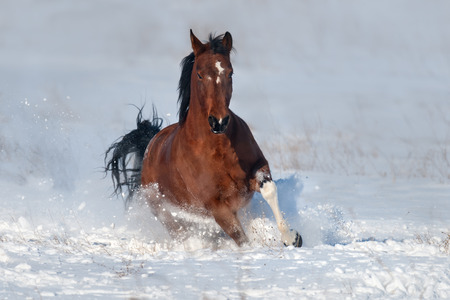 Beautiful bay horse run gallop in snow field 免版税图像