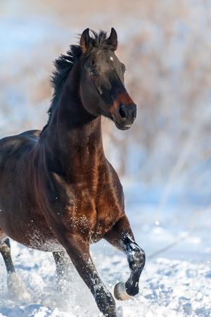 冬雪のフィールドでの運動で馬の肖像画