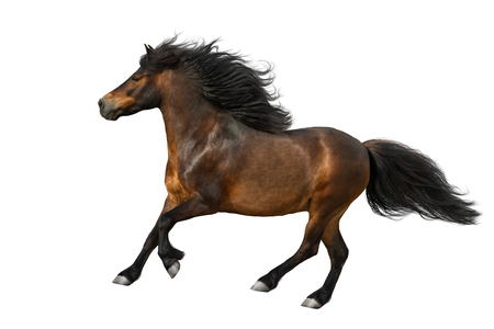 Bay pony with long mane run isolated on white background