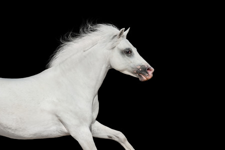 White beautiful pony portrait in motion isolated on black background Reklamní fotografie