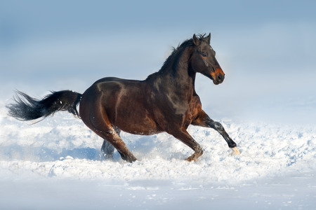 Beautiful black stallion run in snow field