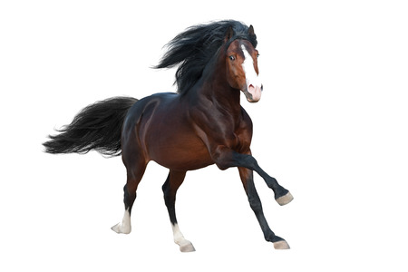 Beautiful bay stallion with long mane run gallop isolated on white background