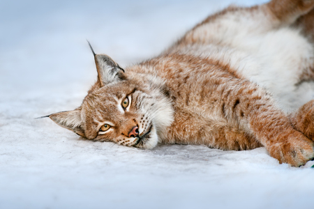 Beautiful lynx rest in snow close up