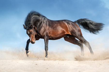 Bay stallion with long mane run in dust against blue sky Banque d'images