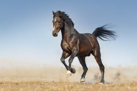 Bay Pferd laufen Galopp in Staub gegen blauen Himmel Standard-Bild - 76127293