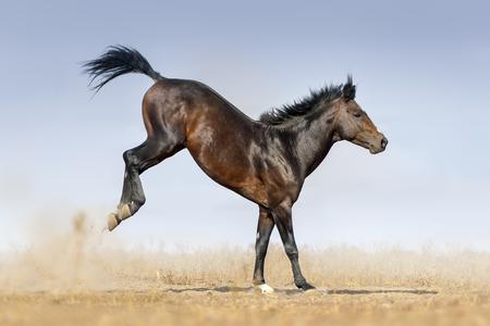 Bay horse run en springen in stof tegen de blauwe hemel Stockfoto