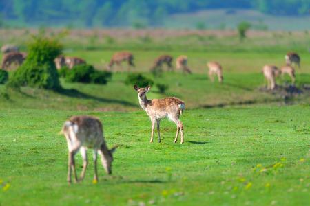 Een kudde herten rust op een groen gazon