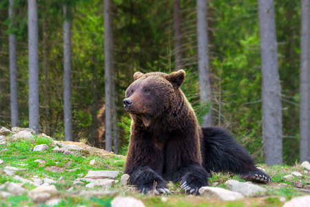 Brown bear rest in forest Stock Photo