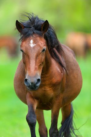 Bay pregnant mare in herd