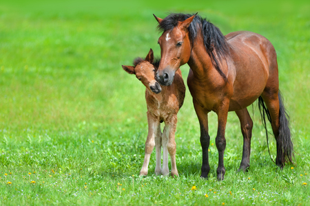 Mare with colt on spring green field Reklamní fotografie