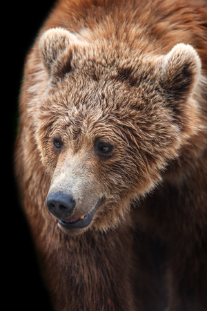 Brown bear portrait in motion isolated on black background Stock Photo