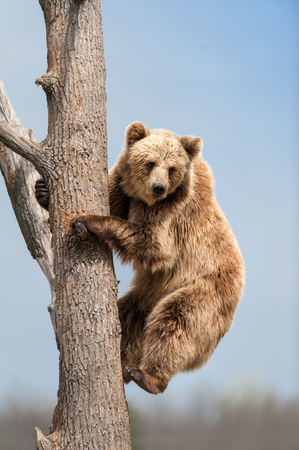 Brown bear climbing in a tree against a blue sky