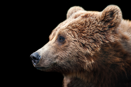 Brown bear isolated on black background