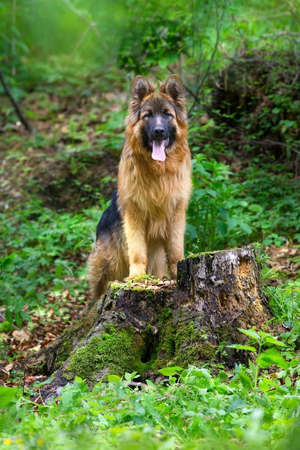 German shepherd in forest