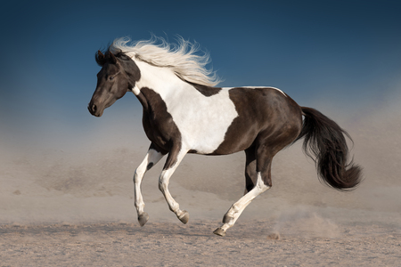 Beautiful piebald horse with long mane