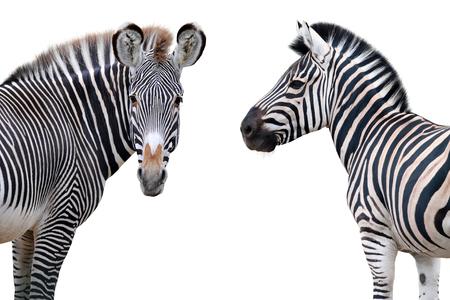Due ritratti di zebre isolati su priorità bassa bianca Archivio Fotografico - 79031994