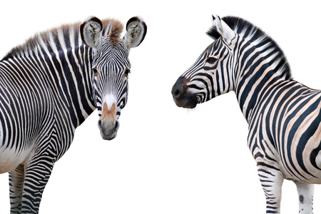 Two zebras portrait isolated on white background