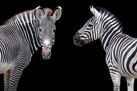 Two zebras portrait isolated on black background Stock Photo