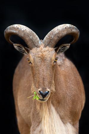 Wild goat portrait isolated on dark background Stok Fotoğraf