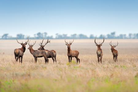 秋の牧草地で鹿の群れ