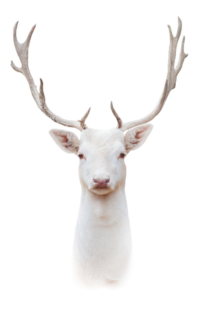 Wit albushertenportret dat op witte achtergrond wordt geïsoleerd