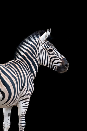 Zebra portrait isolated on black background