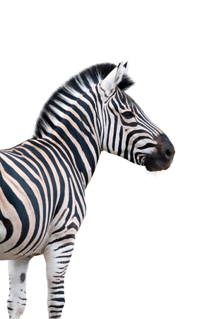 Zebra portrait isolated on white background Reklamní fotografie - 79073267