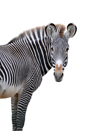 Zebra portrait isolated on white background