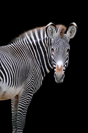 Zebra portrait isolated on black background