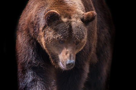 Brown bear portrait close up in motion isolated on black background