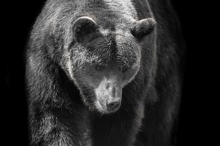 Brown bear portrait close up in motion. Black and white