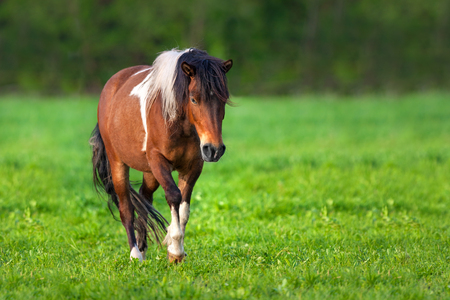 Bay piebald horse walk on pasture Stock Photo