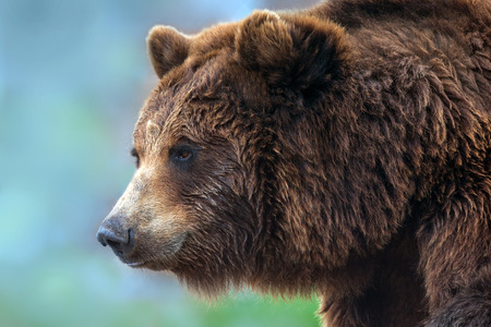 Brown bear portrait close up