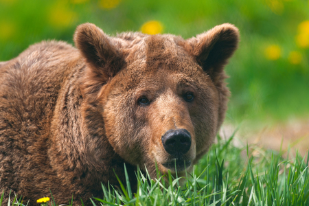 Brown bear close up portrait on green meadow Stock Photo