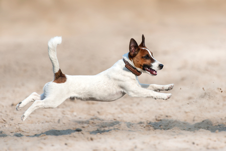 Jack russell terrier run and jump on beach Stock Photo