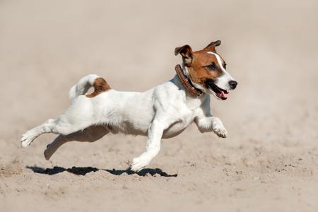 Jack russell Terriër rennen en springen op het strand