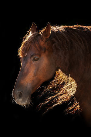 Red andalusian horse in sunlight on black background