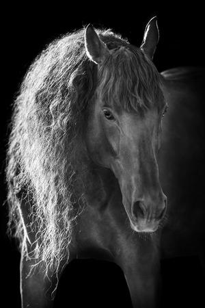 黒の背景に太陽の下で美しいアンダルシア馬