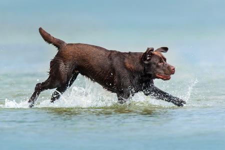 Chocolate labrador run in the sea with a spray Stock Photo
