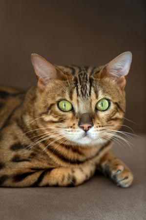 Beautiful cat portrait close up on sofa