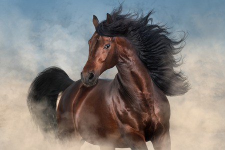 Bay stallion with long mane run