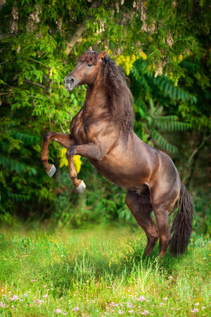 Red horse with long mane rearing up on summer field Stock Photo