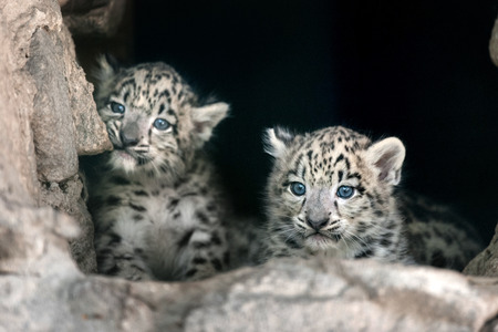 Two cute snow leopard baby portrait 스톡 콘텐츠
