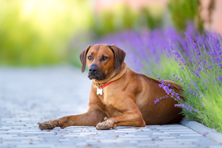 Rhodesian Ridgeback laying against lavander