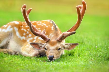 Beautiful deer rest on spring meadow