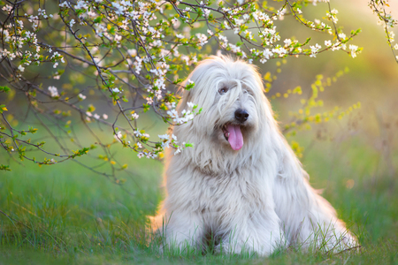 South russian sheepdog in spring blossom Stock fotó
